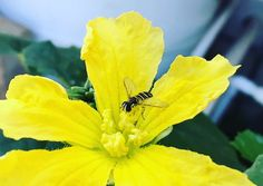 This my friends is a #hoverfly on a male loofah flower. They pollinate but that is not what is the best thing about these little ones:) They're larva also eat aphids faster than ladybugs! When you start seeing them you will know they are there to help!      #homefarmideas #aquaponics #aquaponic #diy #beneficial #beneficialinsects #farm #gardening #farms #farmers #farming #farmlife #garden #gardens #gardening #gardeners #organic #organicfood #organicgardening #organics #grow #growth #growing…