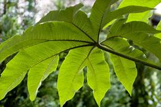 """Tetrapanax papyrifer 'Steroidal Giant'; I bought one of these at Plant Delights.com  - grows fast, HUGE leaves and propagates aggressively so you can dig up """"pups"""" and give to friends"""
