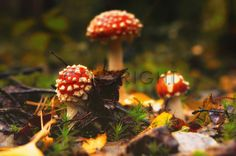 Die Drei im Wald  Amanita muscaria / 11598004