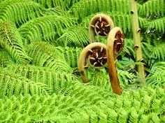 ferns, this is where the Koru comes from.