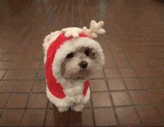 CUTE! Baby Bichon Santa