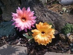 Echinopsis Spring Blush, Samantha Smith