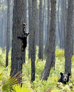 Florida trees and little black bears #FabFlorida