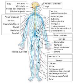 Nervous system diagram-es - Sistema nervioso somático - Wikipedia, la enciclopedia libre