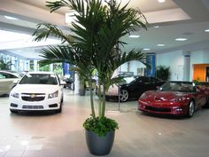 An Adonidia palm welcomes customers at a car dealership Silk Plants, Office Plants, Richmond Virginia, Common Area, Corporate Events, Indoor Plants, Interior And Exterior, Landscape, Holiday Decor