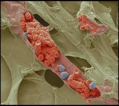 Red and white blood cells inside a small blood vessel are captured by a colored scanning electron microscope.  Photograph by Steve Gschmeissner.