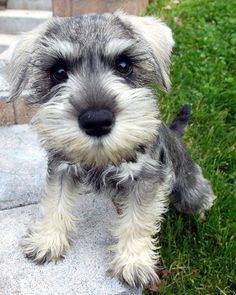 This Miniature Schnauzer cutie wants a kiss please