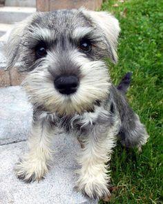 This Miniature Schnauzer cutie wants a kiss please
