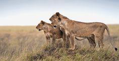 Maasai lion, Serengeti National Park, Tanzania