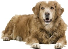 Google Image Result for http://www.westslopevet.com/ESW/Images/retriever-laying-down.png