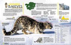 Leopardo de la nieves #infografia #infographic                                                                                                                            Más