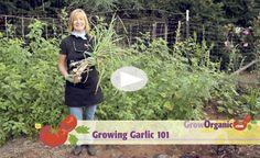 How To Grow Garlic at www.GrowOrganic.com