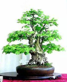 Bonsai of ginko - stunning!