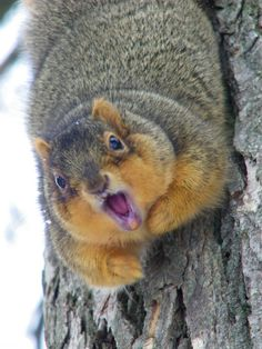 We have angry squirrels in front of our house that torment my dog (and myself) that look JUST like this! I'm an animal lover, but c'mon! Hamsters, Rodents, Fat Animals, Animals And Pets, Funny Animals, Wild Animals, Squirrel Girl, Cute Squirrel, Squirrels