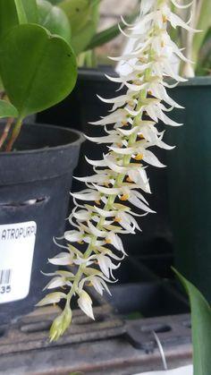 Orquídea...Branca...cheirosa ...exp
