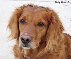 Molly is an adoptable Golden Retriever Dog in West Jordan, UT.