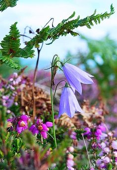 The beauty of wild flowers Campanula Harebells and Heather. British Wild Flowers, Champs, Beautiful Flowers, Prettiest Flowers, Beautiful Gardens, Mother Nature, Planting Flowers, Fields, Landscape