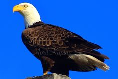 Excited to share the latest addition to my #etsy shop: bald eagle, bird print, wildlife photography, nature print, home decor, fall decor, winter decor, blue, brown, wall art, framed print, art