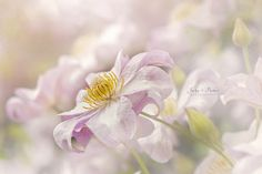 Clematis Huldine by Jacky Parker - Photo 129815709 - 500px