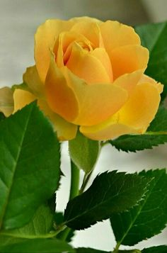 Buenos Días preciosa Rosa💞 Beautiful Flowers Wallpapers, Beautiful Rose Flowers, Love Rose, Exotic Flowers, Amazing Flowers, Yellow Rose Flower, Yellow Flowers, Lavender Roses, Red Roses