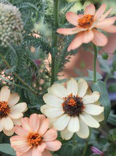 Peachy Zinnias, Amy Merrick – schrebergarten – – Rebel Without Applause Wild Flowers, Beautiful Flowers, Belle Plante, Deco Floral, Flower Farm, Garden Plants, Zinnia Garden, Garden Inspiration, Beautiful Gardens