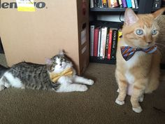 Friday's Fun And Cuteness: 'My Fiancee Is At Home Putting Bow Ties On Our Cats.'