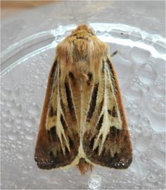 Antler Moth (Cerapteryx graminis).