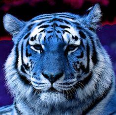 tigri blu