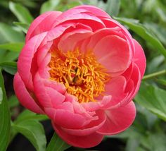Coral Sunset - Coral Pink Semi-double Peony/ Paeonia - Kelways