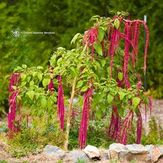Love Lies Bleeding: Amaranthus caudatus (red) Positive qualities: Transcendent consciousness, the ability to move beyond personal pain, suffering or mental anguish; transpersonal vision; compassionate acceptance of life karma Patterns of imbalance: Intensification of pain and suffering due to isolation; profound melancholia or despair due to the over-personalization of one's pain