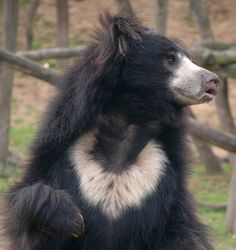 Melursus ursinus/Sloth Bear/Ours Lippu Bear Photos, Bear Pictures, Animal Pictures, Extinct Animals, Rare Animals, Animals And Pets, Strange Animals, Beautiful Creatures, Animals Beautiful