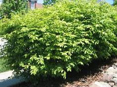 Image result for tumblr bushes and shrubs north american