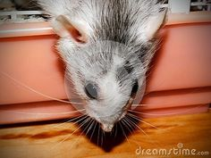 Photo about A close-up view of an adult female Dumbo rat climbing out of its cage. Image of loveable, rats, teddy - 148518587 Dumbo Rat, Rodents, Guinea Pigs, Rats, Climbing, Sheep, Cute Animals, Horses, Stock Photos