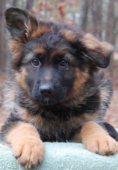 Amsel von den Oher Tannen, 8 week old long stock coated puppy