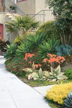 Agave attenuata, Aloe striata, Lotus berthelotii and Thunbergia alata