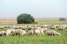 Israeli sheep feed in green pastures.