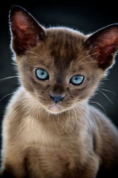 """""""Opal-eyed Kitten"""" by Renee Hubbard / The Sea"""