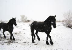 Friesians in the snow--my pretty girls!