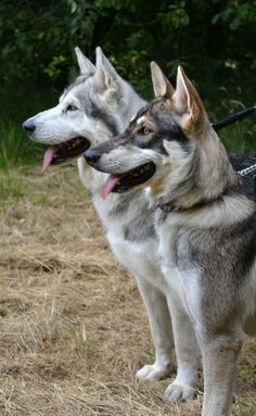 Northern Inuit Dogs THEY LOOK SO MUCH LIKE MY HUSKY PUPS