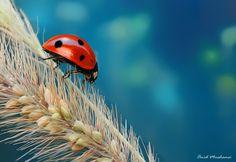 Ladybird by Omid Mirshamsi, via 500px