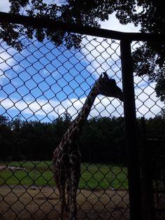 giraffe, taken in ZOO Brno, Czech Republic #ditushfabianski