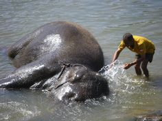 A bath in the river at Pinnewala Elephant Orphanage in Sri Lanka