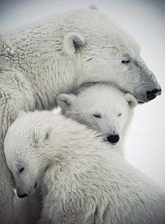 Polar bear mother love