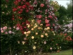 How To: Grow the Perfect Roses Video from Martha Stewart.
