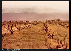 Cucamonga vineyards looking north towards the Ontario and Cucamonga Peak. I remember. Rancho Cucamonga Quakes, California History, Southern California, City Pass, Sense Of Place, The Old Days, Local History, Wine Country, Old Pictures