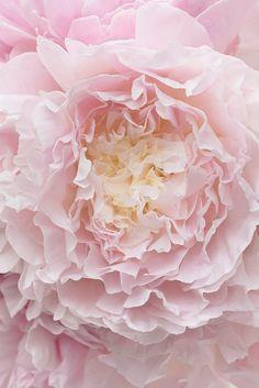 Peony Photography - Botanical Fine Art Photograph of Peony Flower, Large Wall Art, Home Decor by GeorgiannaLane on Etsy