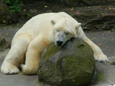 Tundra at the Bronx Zoo was put down December 28th. 2017. He suffered from a handful of illnesses. He was 26 years old.