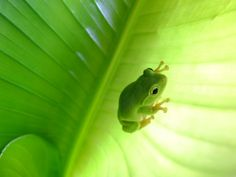 Green Frog - green Photo