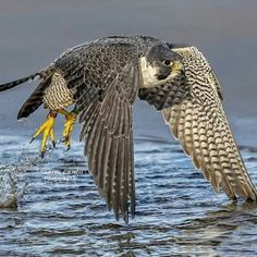 New Cost-Free birds of prey falcon Suggestions To be a wildlife involving fodder photography, the key difficulty the majority of grumble with regards to is Pretty Birds, Beautiful Birds, Animals Beautiful, Raptor Bird Of Prey, Birds Of Prey, Nature Animals, Animals And Pets, Artificial Birds, Peregrine Falcon