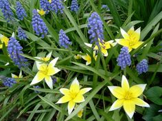 yellow small bulb plant early spring | Spring-flowering bulbs are a garden's buried treasures. When it feels ...